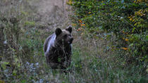 Private Brown Bear Watching Tour at the Harghita Mountains Foothills, Transylvania, 4WD, ATV & ...