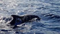 Dolphin Watching from Golfo Aranci, Olbia, Day Cruises