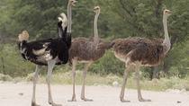 Nairobi Guided Day Tour To Masai Ostrich Farm, Nairobi, Day Trips