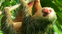 Small-Group Guided Sloth Seeing Tour in La Fortuna, La Fortuna, Day Trips
