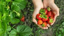 4 in 1 Tour Strawberry Picking and Nami Island with The Garden of Morning Calm, Seoul, Day Trips