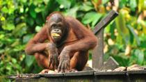 DAY TRIP ORANG UTAN AND PROBOSCIS MONKEY, Kota Kinabalu, Nature & Wildlife