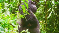 Gorillas Tracking In Kahuzi-Biega National Park - 3 Day Tour, Democratic Republic of Congo, ...