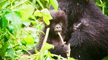 Gorillas Trekking and Nyiragongo Volcano in Virunga National Park, Kigali, Multi-day Tours