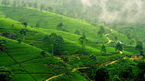 Tea Tours in Nuwara-Eliya with MTH, Nuwara Eliya, Private Day Trips