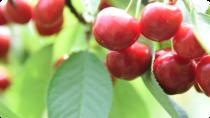 Cherry picking, Hiroshima, 4WD, ATV & Off-Road Tours