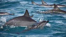 Fiji Dolphin Watch Takalana Bay, Suva, Dolphin & Whale Watching