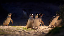 Small-Group Phillip Island Penguin Parade Day Trip from Melbourne Including Moonlit Sanctuary, ...