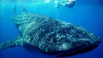 Whale Shark, Cancun, Other Water Sports