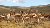 Half-Day Pampa Galeras Reserve Tour from Nazca, Ica, Nature & Wildlife