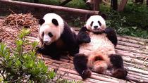 Private Tour: Chengdu Panda Base and Leshan Grand Buddha, Chengdu, Private Day Trips