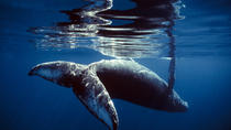 Hervey Bay Swim-With-Whales Impact Study, Hervey Bay, Day Cruises