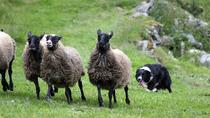 Dogshow - Visit a real mountain farm at Hellesylt, Alesund, Nature & Wildlife