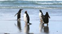 Gentoo Penguins at Berthas Beach Guided Tour from Stanley, Falkland Islands, Ports of Call Tours