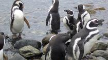 Shore Excursion: Magellan Penguins Natural Reserve in Magdalena Island from Punta Arenas, Punta ...