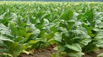 Tobacco Route Full Day Tour from Salta, Salta, Day Trips