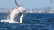 Morning or Afternoon Gold Coast Whale Watching Cruise, Gold Coast, Dolphin & Whale Watching