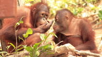 Private Tour: Orangutan Island, Taiping Zoo and Perak Museum from Penang, Penang, Private ...