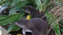 Little Penguin Encounter, Napier, Private Sightseeing Tours