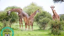 Tanzania Simba Safari - 5 Days, Arusha, Cultural Tours