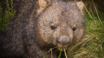 Cradle Mountain Wildlife Spotting after Dark, Tasmania, Day Trips