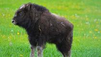 Mountains & Musk Ox of the Mat-Su Valley, Anchorage, Day Trips