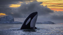 Half-Day Whale Safari on Yacht from Tromso, Tromso, Dolphin & Whale Watching