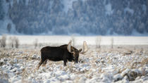 Grand Teton and National Elk Refuge Winter Day Trip, Jackson Hole, Safaris