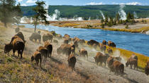 Yellowstone National Park Small-Group Wildlife Safari, Jackson Hole, Safaris