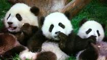 Beijing Family Tour: Pandas at Beijing Zoo, Rickshaw, Calligraphy Lesson in Hutongs and Flying Kite...