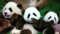 Chengdu in A Day from Shanghai by Air: Pandas and Histories, 上海