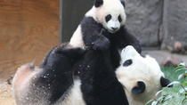 Half Day Tour: Chengdu Giant Panda Bear Research Center with One-Way Airport Transfer, Chengdu, ...
