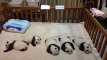 Volunteer for the Day at Chengdu Dujiangyan Panda Base Conservation Center