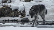 Yellowstone Winter Wolf & Wildlife Day Tour, Yellowstone National Park, Private Sightseeing Tours