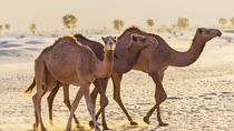 Dubai Desert Morning Tour in 4WD Vehicle: Camel Ride, Quad Bike Tour, Sandboarding, and Camel Farm, ...