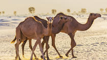 Dubai Desert Morning Tour in 4x4 Vehicle: Camel Ride, Quad Bike Tour, Sandboarding and Camel Farm, ...
