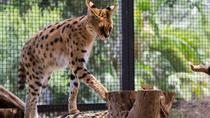 African Cat Encounter at Werribee Open Range Zoo, Melbourne, Zoo Tickets & Passes