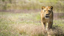 Lions at Bedtime und ein Tag im Monarto Zoo, Adelaide, Zoo Tickets & Passes