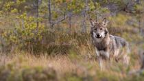 Wolf howling with night in tent, Stockholm, Day Trips