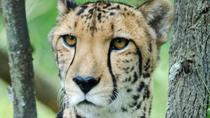 The Anne Van Dyk Cheetah Centre with feeding round trip, Johannesburg, Bus & Minivan Tours
