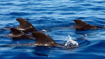 Private 1 hour Whale Watching Tour, Tenerife, Dolphin & Whale Watching