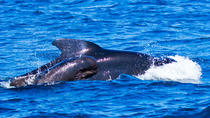 Small group whale watching 1 hour tour, Tenerife, Dolphin & Whale Watching