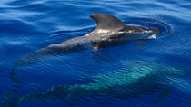 Small group whale watching 2 hour tour, Tenerife, Dolphin & Whale Watching