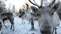Snowmobile Safari to Reindeer Farm from Luosto Including Reindeer Sleigh Ride, Lapland, Ski & Snow