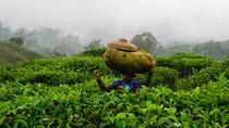Harvesting tea and making tea drink, Yogyakarta, Day Trips