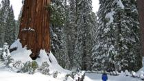 Giant Sequoia Grove Hike or Snowshoe, Yosemite National Park, Hiking & Camping