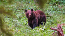 Bear watching experience near Brasov, Brasov, Nature & Wildlife
