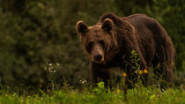 Day trip & bear watching in the Land of Volcanoes, Brasov, Day Trips