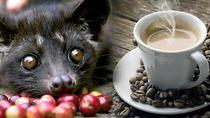 Best Of Bali Luwak Coffee Plantation Tours, Ubud, Coffee & Tea Tours
