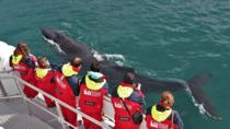 Whale Watching from Downtown Akureyri, Akureyri, Dolphin & Whale Watching